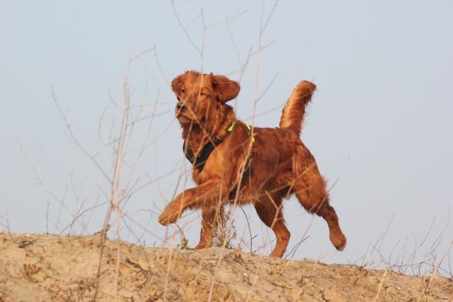 Een soepel bewegende hond dankzij dierfysiotherapie