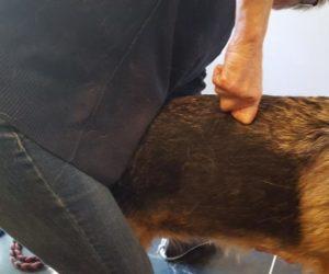 Chiropractie hond - rug